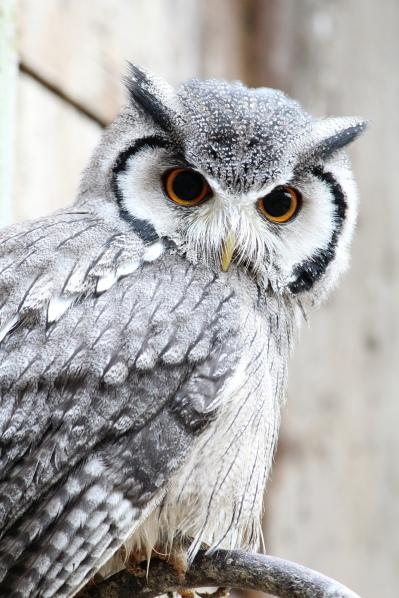 OWL ese