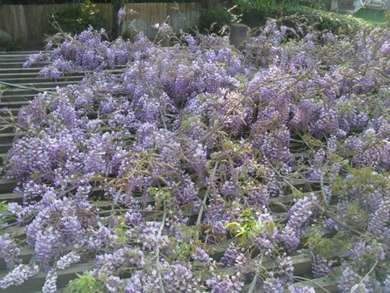 wysteria from above
