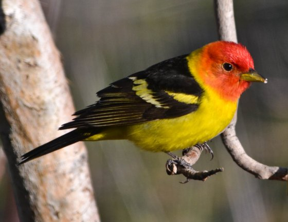 may_21_male_western_tanager_by_keithsannoyingphotos-d661fbl