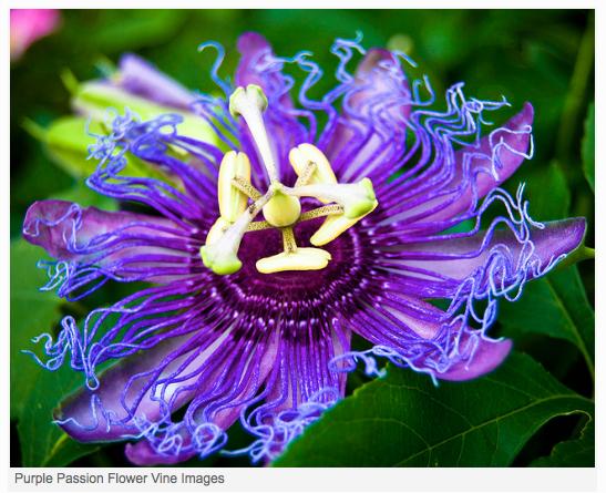 PurplePassion5