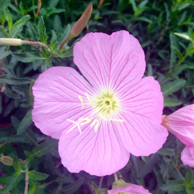 morning-walk-pink-flower