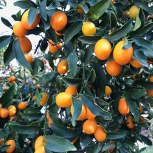 tempquilt kumquats_2